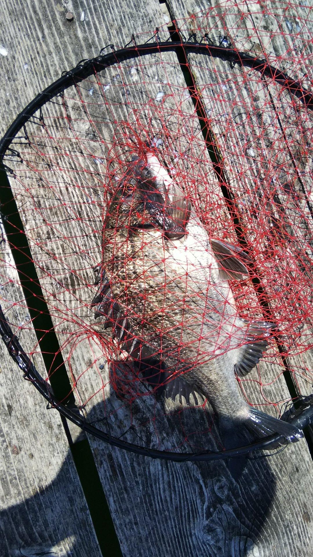 ケツがブリトニーさんの投稿画像,写っている魚はクロダイ