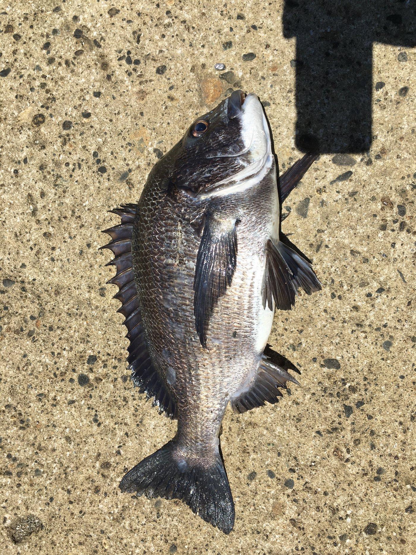 銀次郎さんの投稿画像,写っている魚はクロダイ