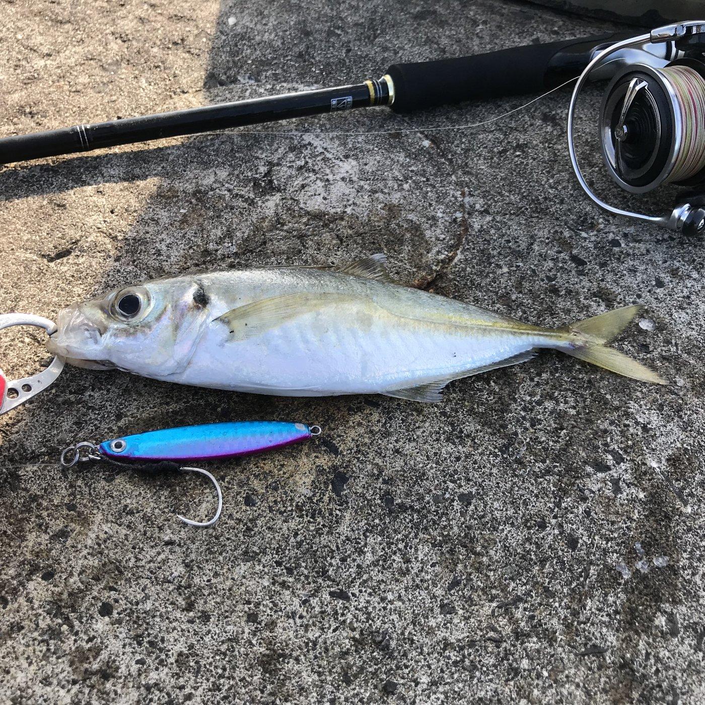 ジグ太郎さんの投稿画像,写っている魚はアジ