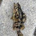 Shogoさんの愛知県でのタケノコメバルの釣果写真