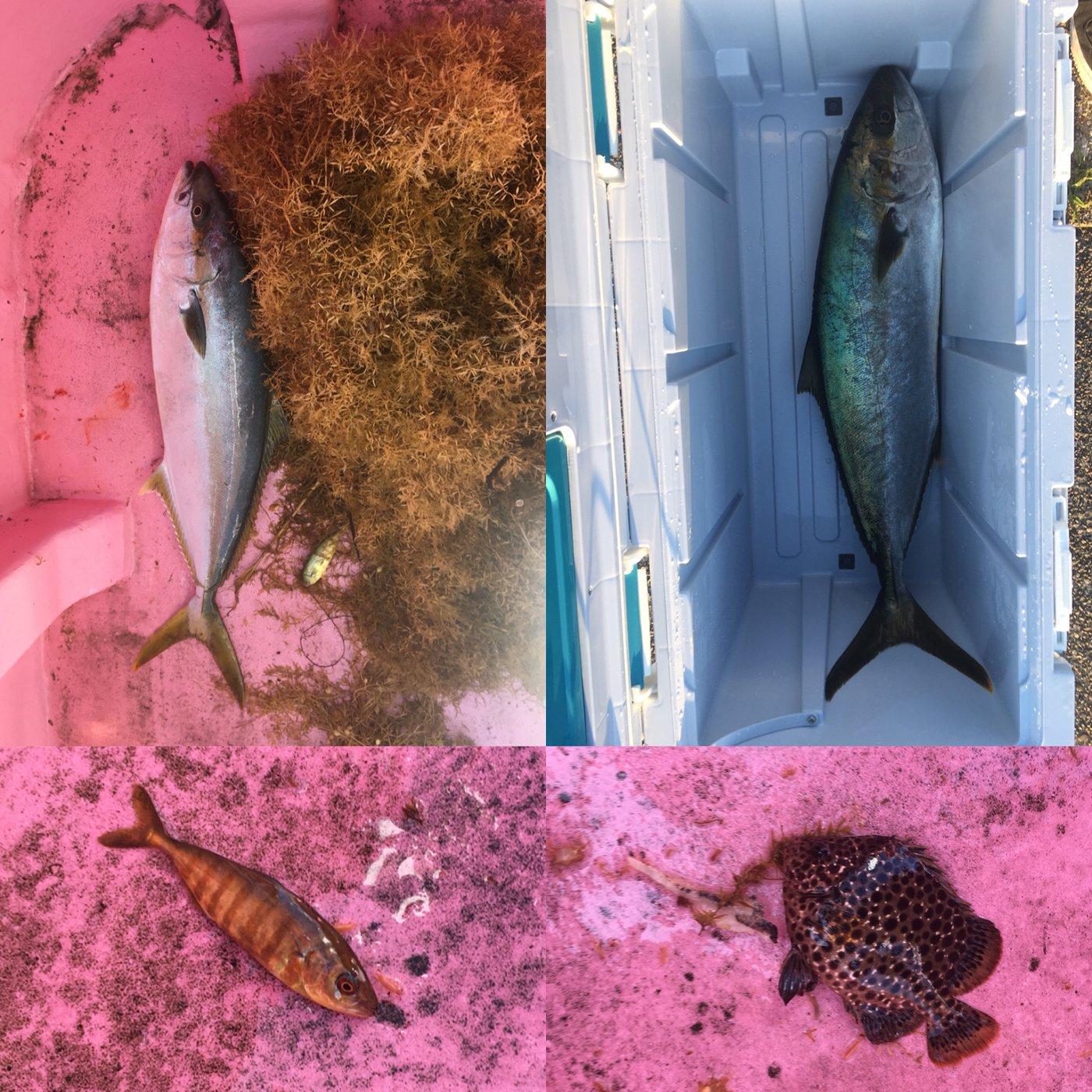 タマさんの投稿画像,写っている魚はヒラマサ