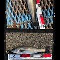 かずさんの千葉県袖ケ浦市でのスズキの釣果写真