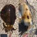 175さんの福岡県福津市でのアオリイカの釣果写真