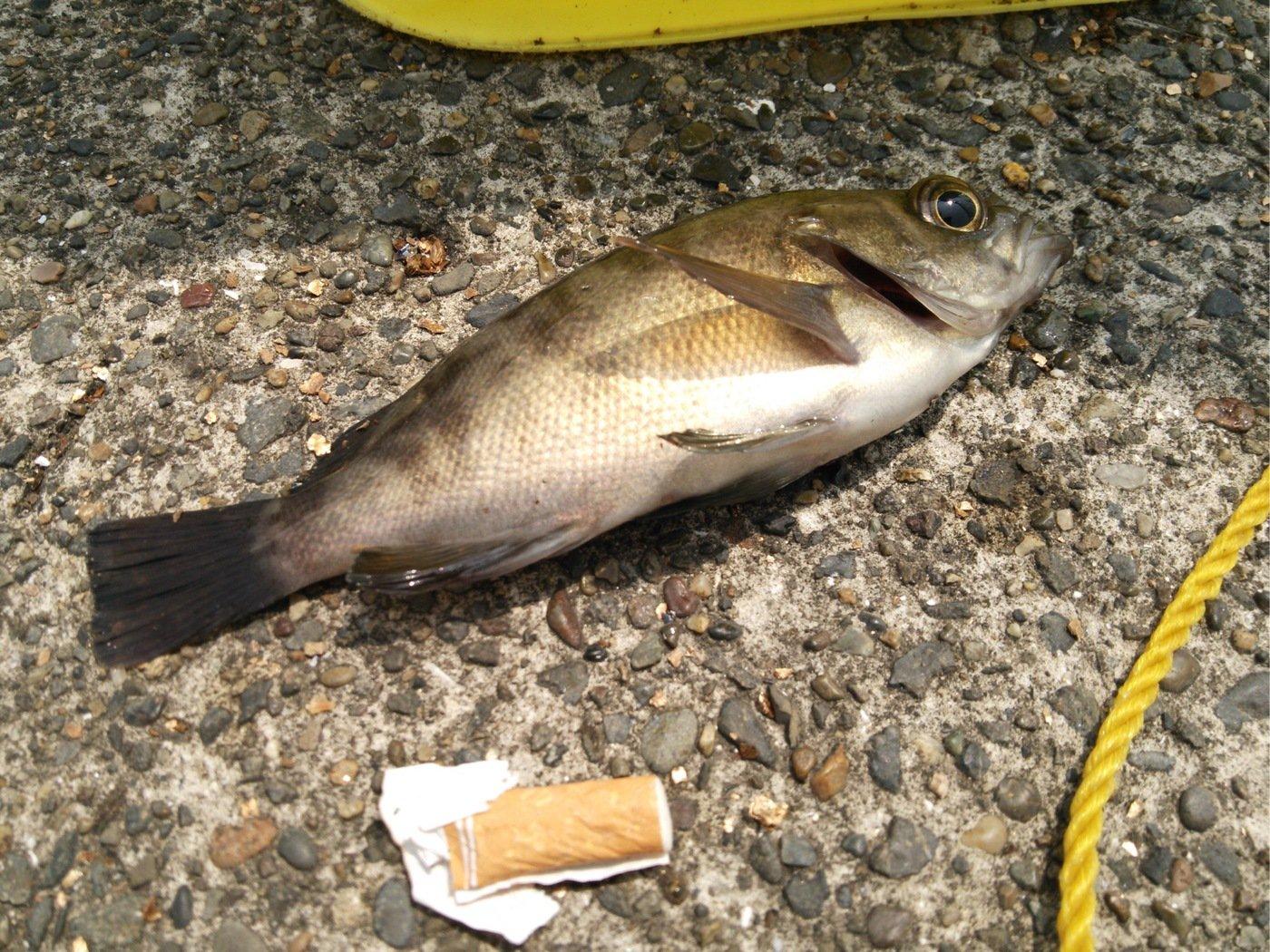 まるたさんの投稿画像,写っている魚はメバル