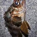 神経痛マンさんの静岡県御前崎市での釣果写真