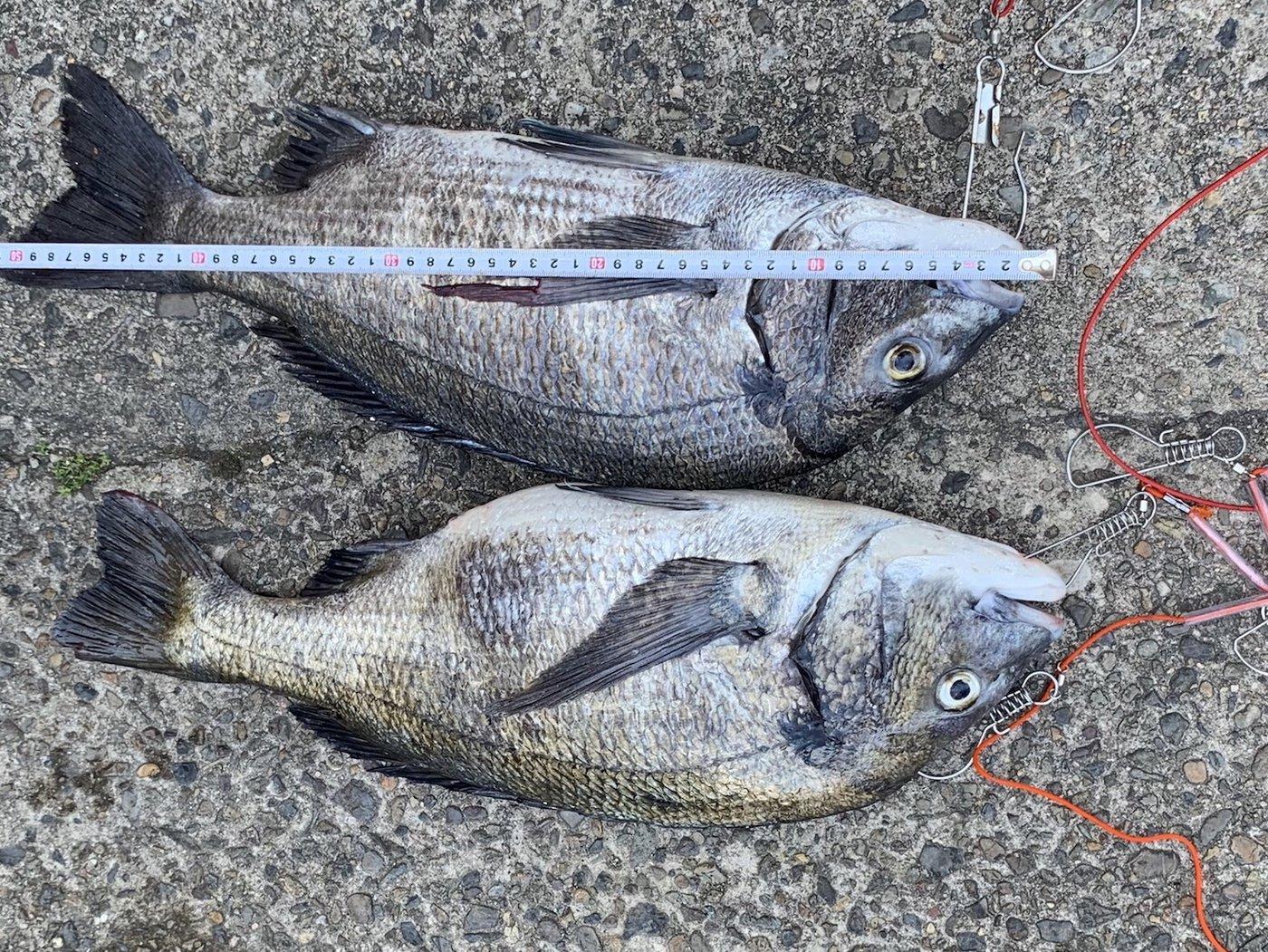 シマノコータローさんの投稿画像,写っている魚はクロダイ