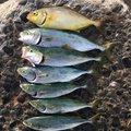 ヒラメちゃんさんの静岡県静岡市での釣果写真