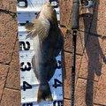 だてけーさんの青森県でのアイナメの釣果写真