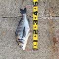 オコステさんの秋田県潟上市での釣果写真