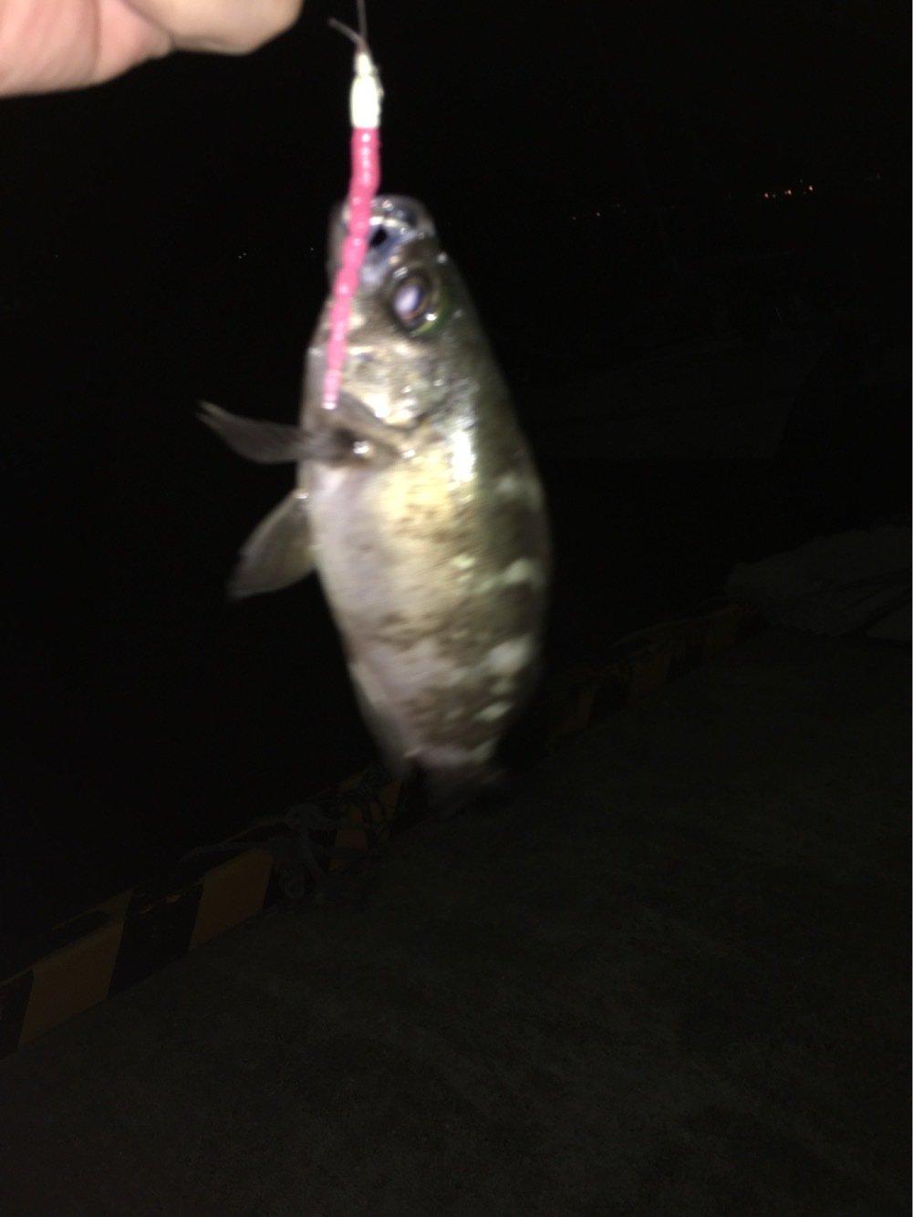 サボテンさんの投稿画像,写っている魚はメバル