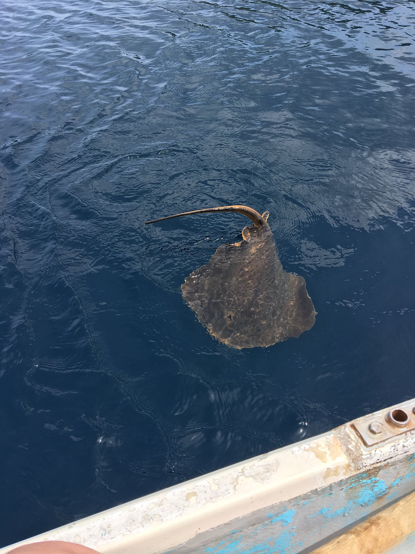 DEEPさんの投稿画像,写っている魚はアカエイ,アジ,マサバ