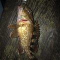 ヨシキさんの愛知県碧南市での釣果写真