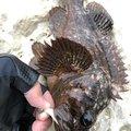 ビギナー釣り師さんのソイの釣果写真