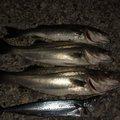 キンパツタラオさんの新潟県胎内市での釣果写真