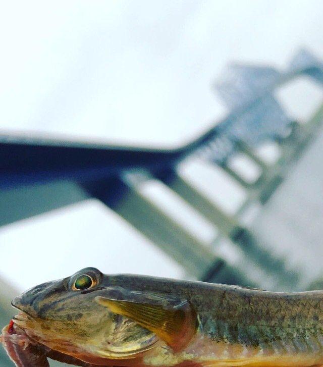 askwmktさんの投稿画像,写っている魚はマハゼ
