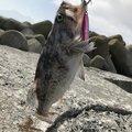 ガンマ似。さんの北海道茅部郡での釣果写真
