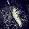 ナンチャンさんの香川県高松市での釣果写真
