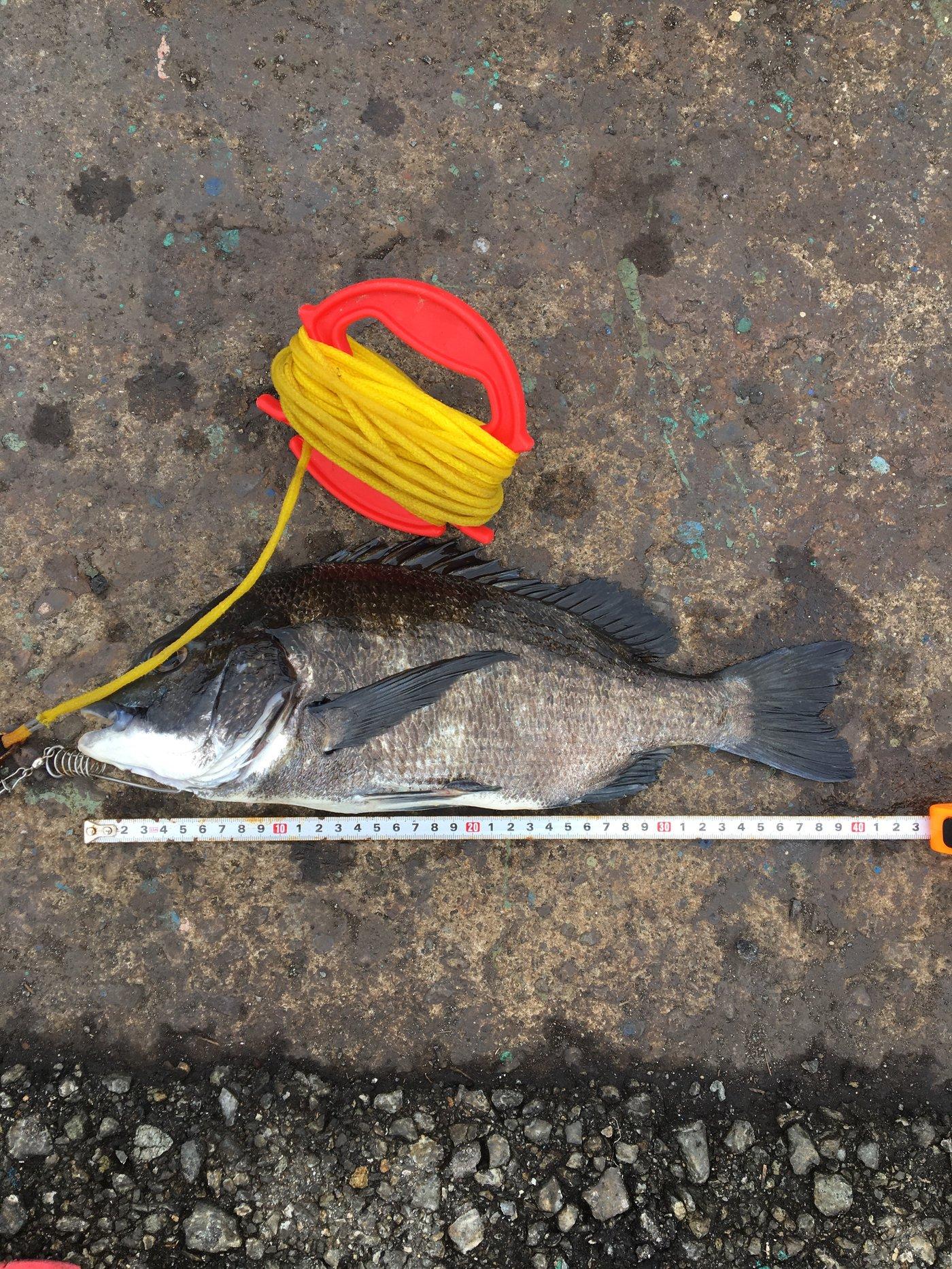 まーくんさんの投稿画像,写っている魚はクロダイ