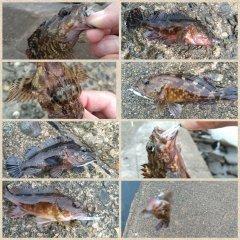 アブさんの投稿画像,写っている魚はカサゴ