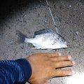 マロンさんの宮崎県宮崎市での釣果写真