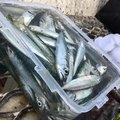 かーるさんの福岡県糸島市での釣果写真