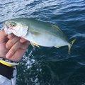 リッシーさんの徳島県阿南市での釣果写真