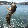 yukiさんの兵庫県南あわじ市での釣果写真