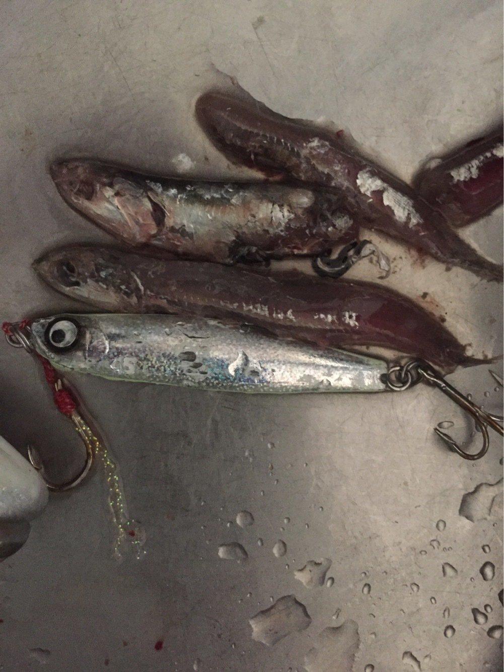 妖怪スッテユズリさんの投稿画像,写っている魚はブリ