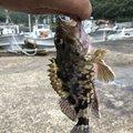 イカ男さんの島根県江津市での釣果写真