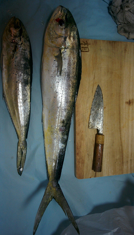 usiromさんの投稿画像,写っている魚はシイラ