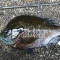 ぴやーんさんの和歌山県岩出市での釣果写真