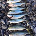 もろさんの静岡県静岡市での釣果写真