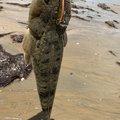 鮎川魚伸さんの三重県でのコチの釣果写真