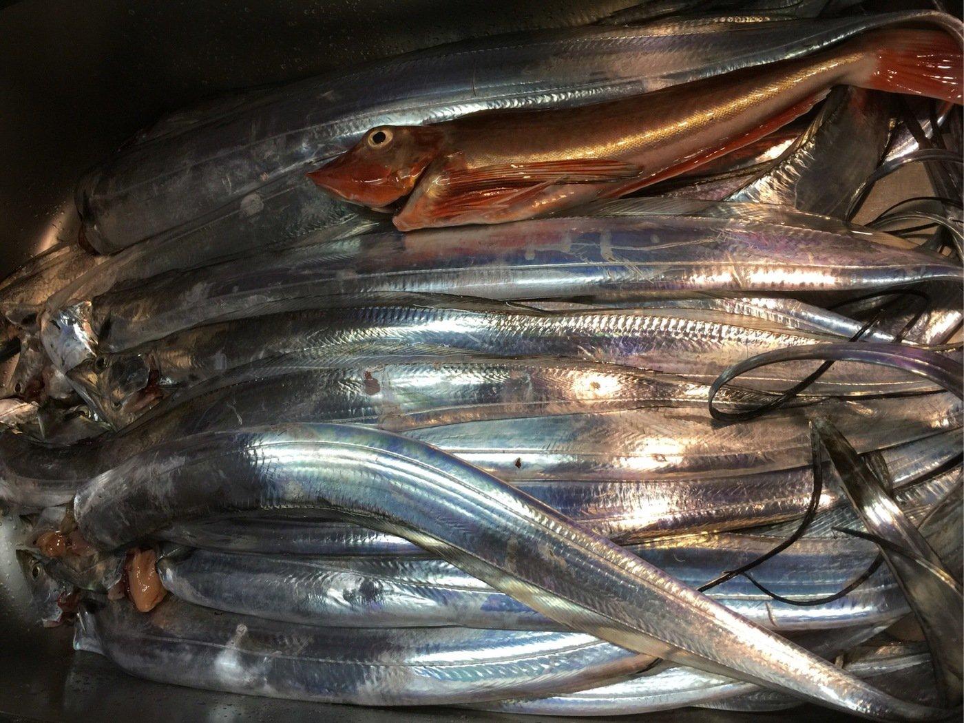fish hunter 8号さんの投稿画像,写っている魚はタチウオ