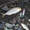 ギースーさんの静岡県沼津市での釣果写真