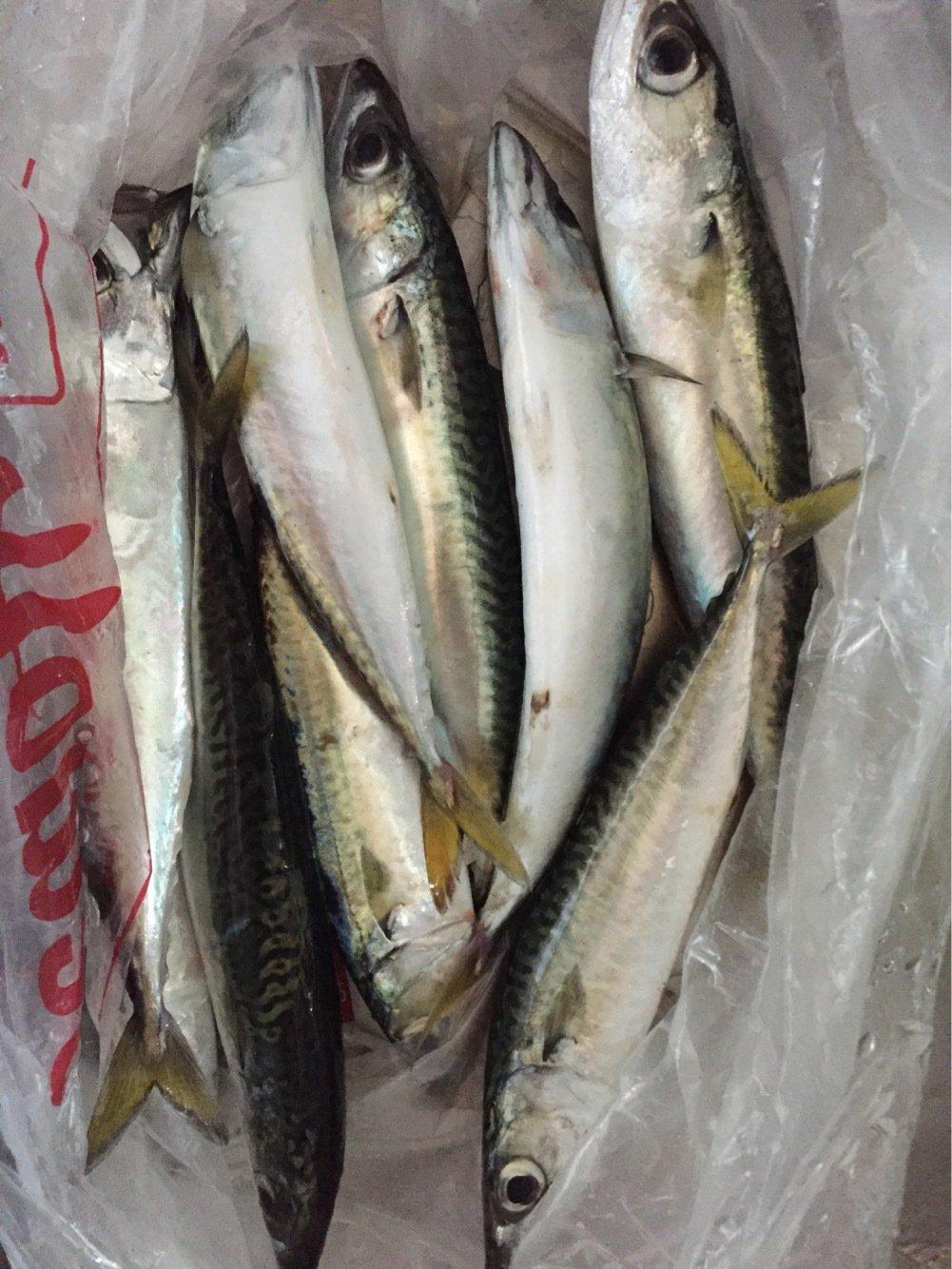 Keitaさんの投稿画像,写っている魚はマサバ