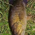 マンボウさんのスモールマウスバスの釣果写真