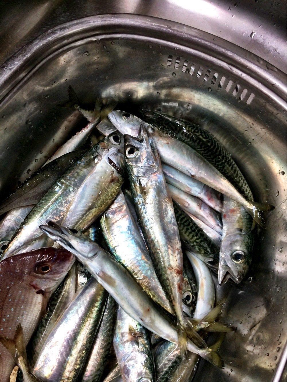 takasixさんの投稿画像,写っている魚はマサバ