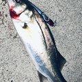 鮎川魚伸さんのスズキの釣果写真