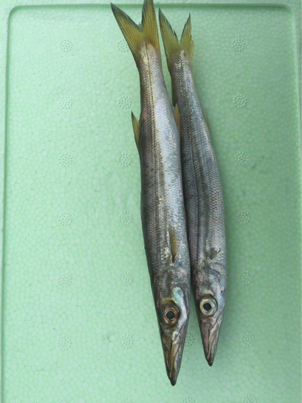 わたるさんの投稿画像,写っている魚はカマス