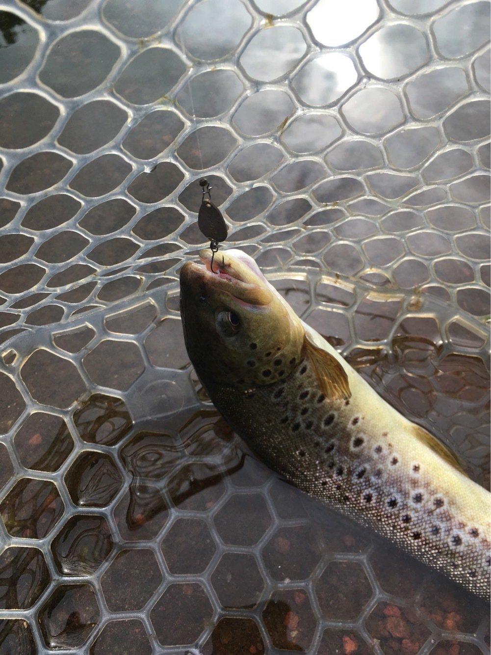 もっちさんの投稿画像,写っている魚はブラウントラウト