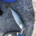 マトオさんの香川県小豆郡での釣果写真