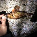 あんこ、きなこさんの神奈川県横須賀市でのカサゴの釣果写真