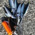 kazuさんの青森県青森市での釣果写真