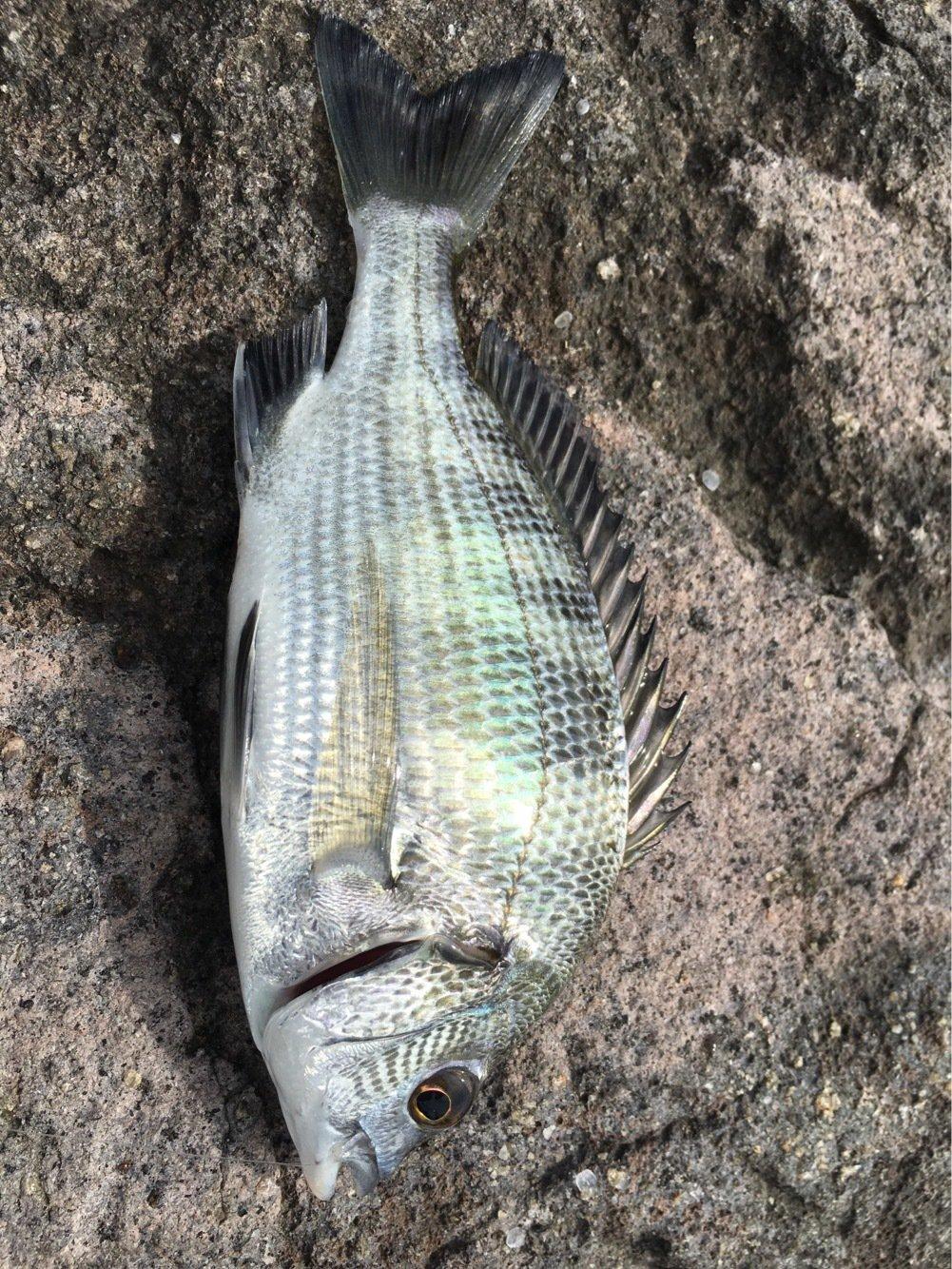 しのっち☆さんの投稿画像,写っている魚はクロダイ
