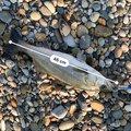 こうき。さんの新潟県胎内市での釣果写真
