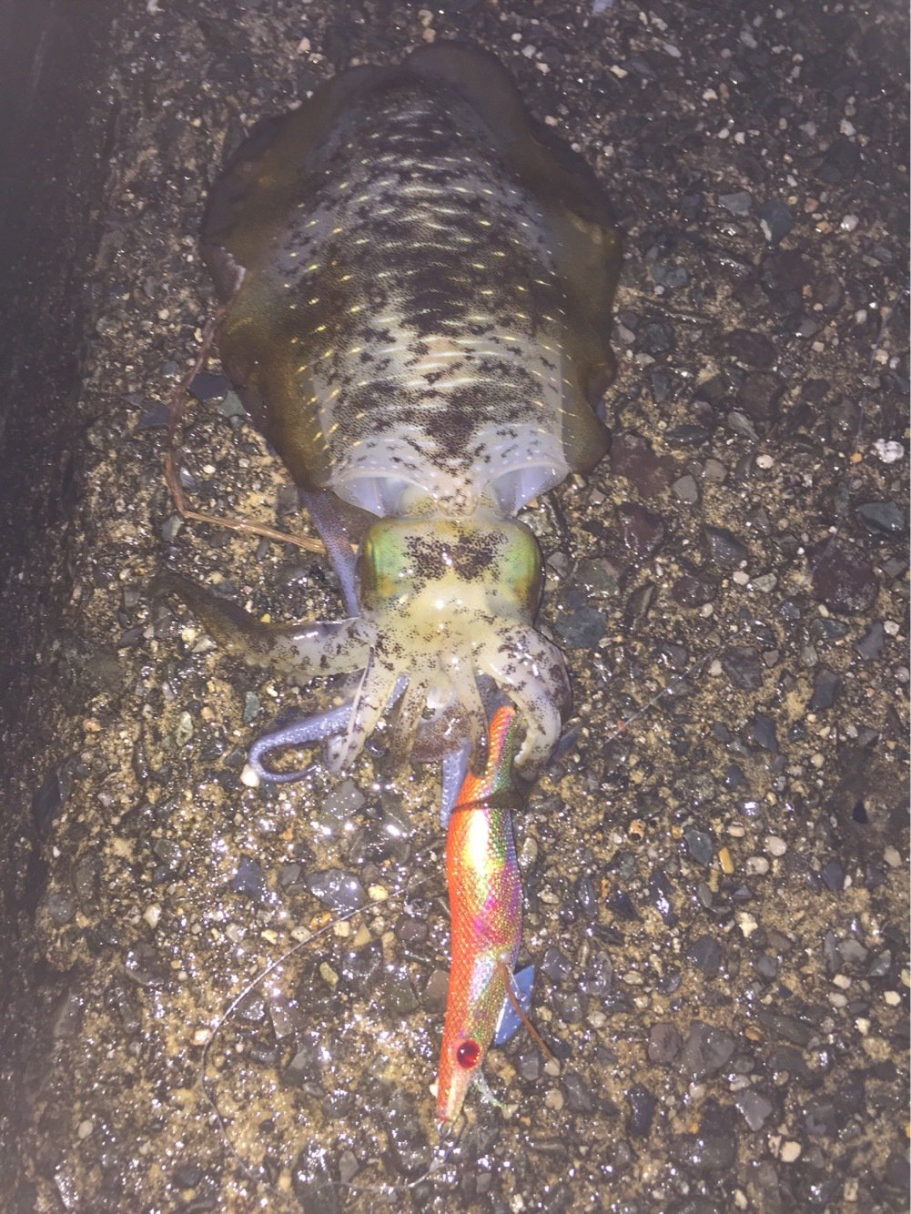 ノリヒロさんの投稿画像,写っている魚はアオリイカ
