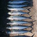ysyk0905さんの福井県敦賀市での釣果写真