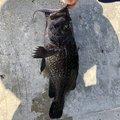 とんこつさんのソイの釣果写真