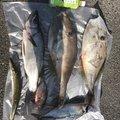 まーさんの岡山県倉敷市での釣果写真